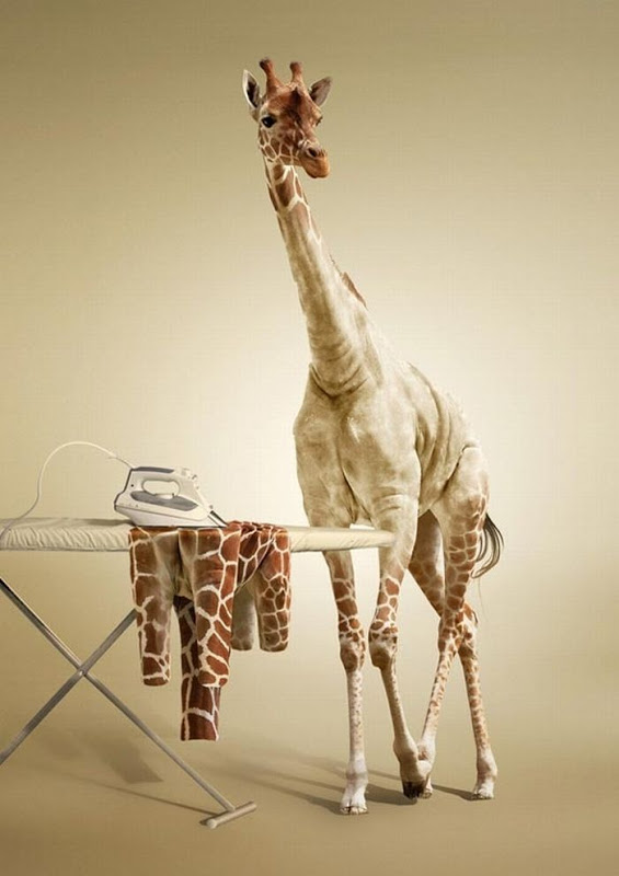 Even giraffes need a little laundry (dry cleaning?) from time to time: