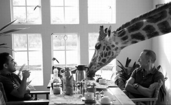 Giraffes join guests at the breakfast table in African hotel