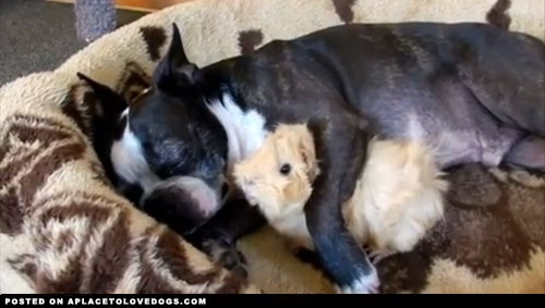 Guinea Pig Loves Boston Terrier