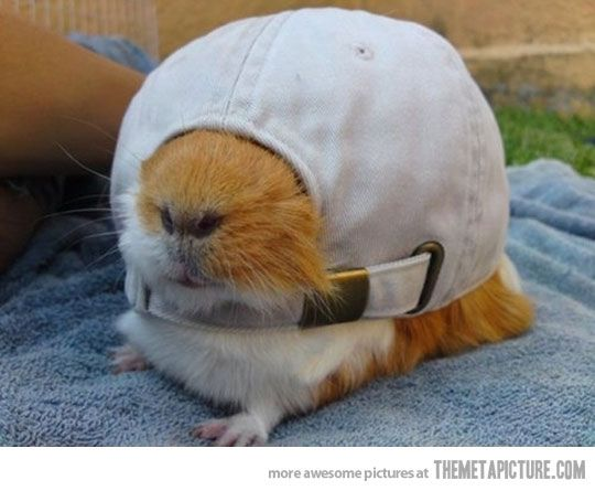 Guinea Pigs are so cute!
