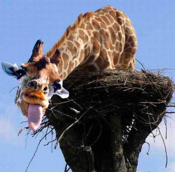 This giraffe seems to be pretty confused, as well: