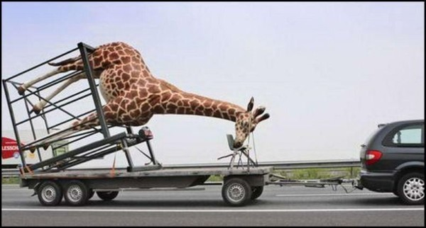 This is NOT the way to transport a giraffe! -