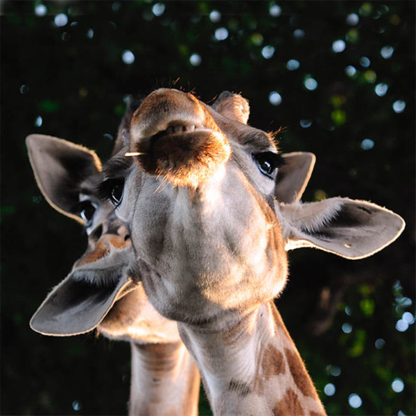 What are these horn-like protuberances on the giraffe's head?