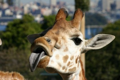 funny and cute giraffes