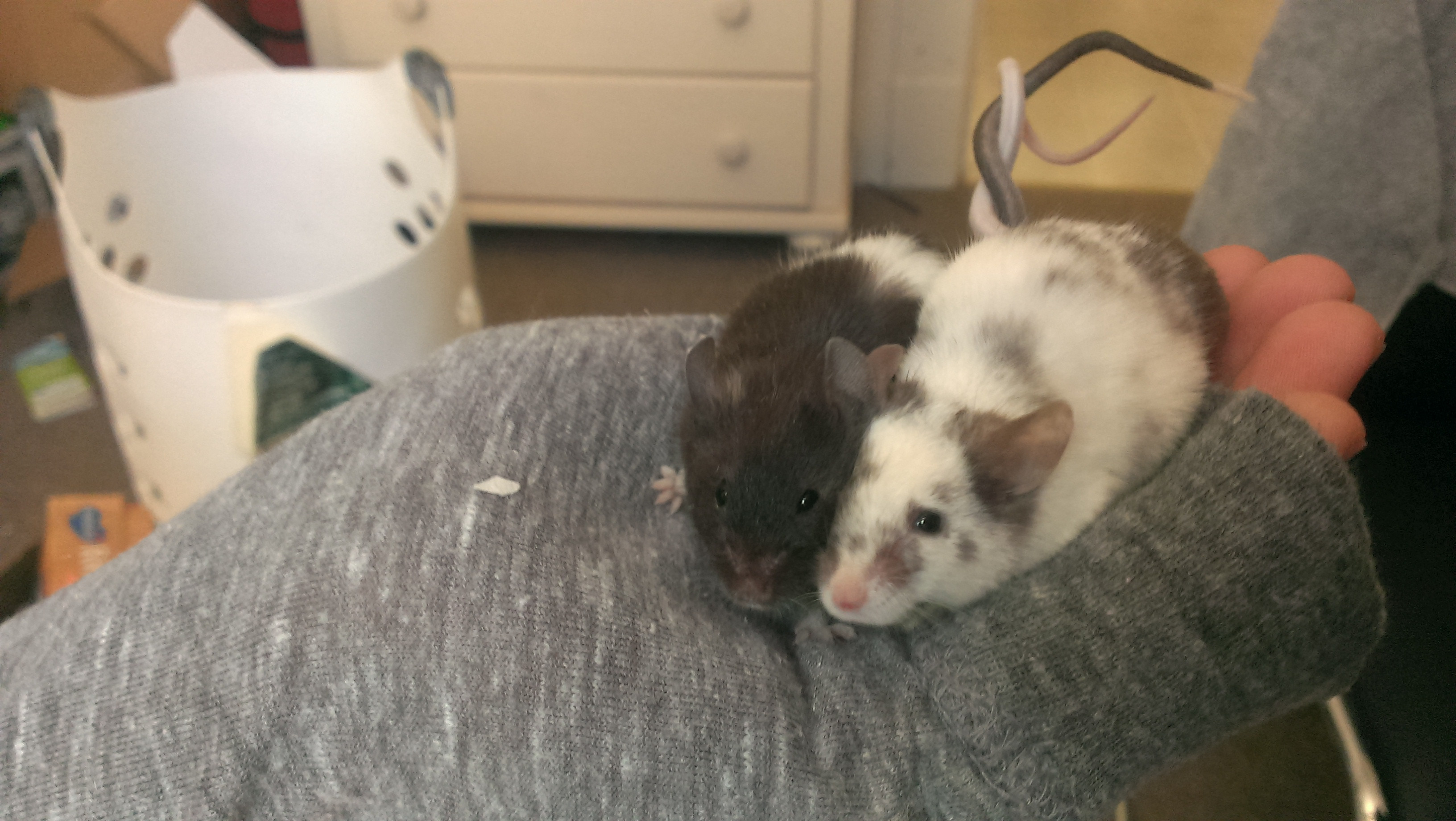 Mice Tangled Together With their Tails When Cuddling