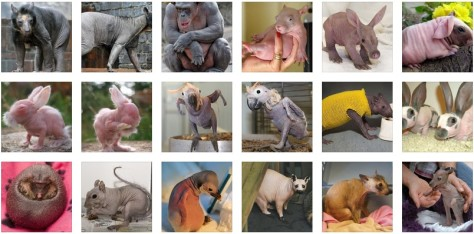 Funny Bald Animals