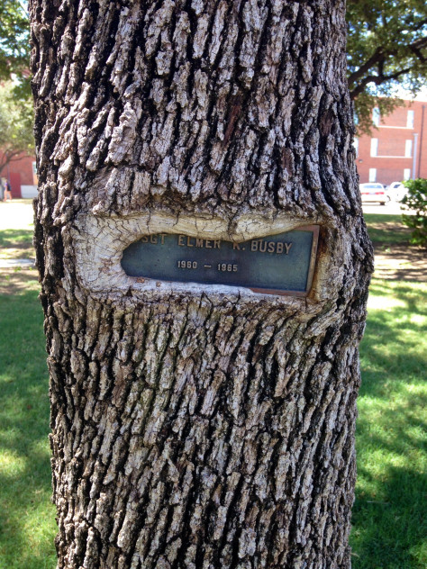 This tree is swallowing the plaque attached to it
