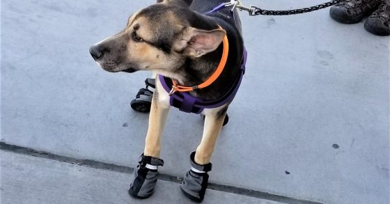 Dog-Boots-Funnypost.in